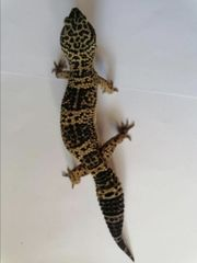 Leopardgecko 0 1 Black Night