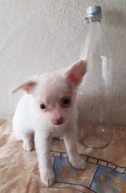 Chihuahua Langhaar Welpen o P