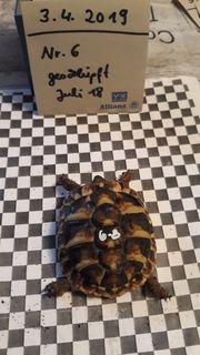 Griechische Landschildkröten NZ 2017 18