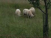 Ostfriesische Milchschafe Bocklämmer