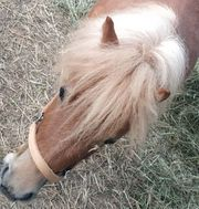 Shetty Pony Mini Haflinger