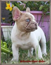 Französische Bulldogge Isabella lilac m