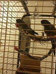Felsensitiche Papageien