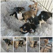 Chihuahua Welpen Merle Rüde und