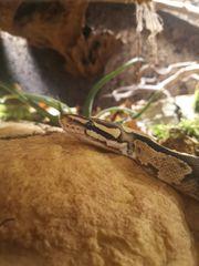 Python regius Königspython fire Dame