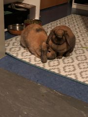 2 Kaninchen Widder Bock und