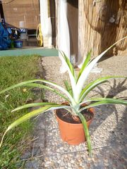 Ananas Pflanze