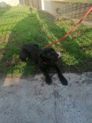 Reinrassiger Cane Corso Welpe in