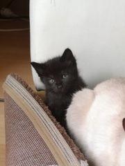 Main-Coon Siam Mix Kitten