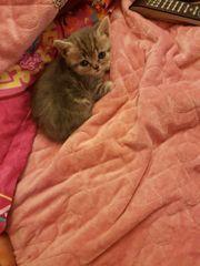 baby katzen zum verkaufen