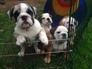 Englische Bulldoggen Welpen mit Ahnentafel