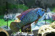 Hemichromis lifalili blue neon
