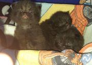 reinrassige Perserkatze w m Kitten