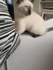 Thailändische Siam Katze