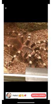 Vogelspinne mit Zubehör