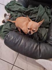 Zwei süße Chihuahua