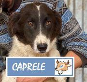 freundliche und verprielte Caprele sucht