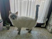 Wurfankündigung BKH Kitten