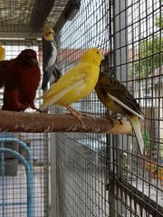 NUR Hähne Kanarienvögel