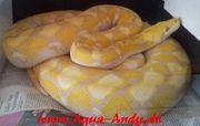 Python zu verkaufen