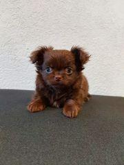 Chihuahua Babys suchen ab Nov