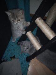 BKH Kitten BKH Kätzchen suchen