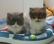 BKH BLH Kitten suchen ein