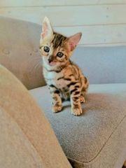 süße Bengalkitten Katzen und Kater