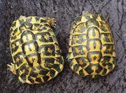 griechische Landschildkröten Paar Testudo hermanni