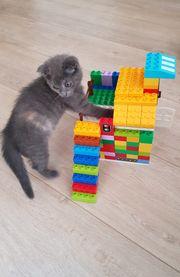 Babykatze Britisch Kurzhaar