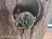 Baumstreifenhörnchen 2weibchen u 1mänchen