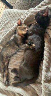2 Baby Kätzchen Weiblich