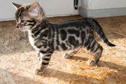 Menschenbezogene prächtige Bengal Kitten - aus