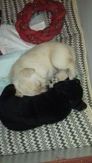 2 Kelpie-Mischlinge-Welpen Kelpie-Labrador 1 Weibchen