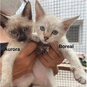 Aurora Boreal Siam-Schwestern suchen Familie
