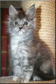 Fantastische Maine Coon Kitten in