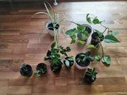 Verschiedene Zimmerpflanzen und Balkonpflanze günstig