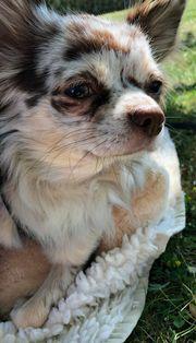Chihuahua Deckrüde Schoko Merle