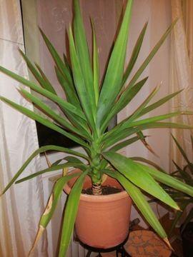 Pflanzen - Palme 90 cm Indoor und