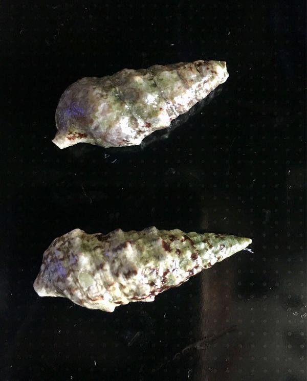 Meerwasser Nadelschnecken Cerithium sp zu