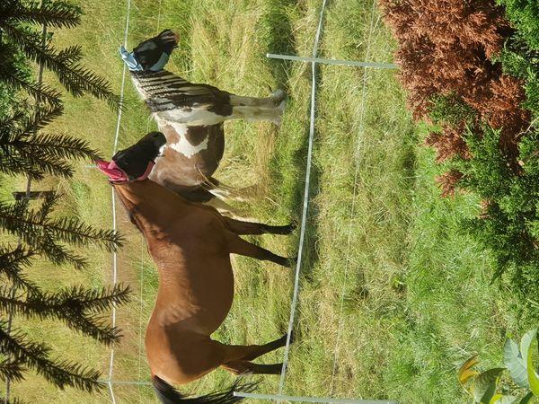 Suchen dringend einen Freizeitpartner, Pferd