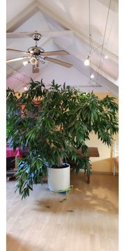 Ficus longifolia langblättrige Feige 250