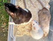 Ratten XXL zum verfüttern