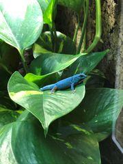 Lygodactylus williamsi 1 0