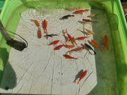 Goldfische Schleierschwänze