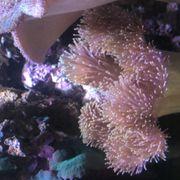 Korallen abzugeben Muttertiere und Ableger