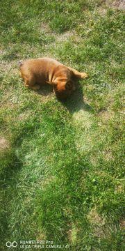 Wunder schöne Französische bulldoggen Welpen