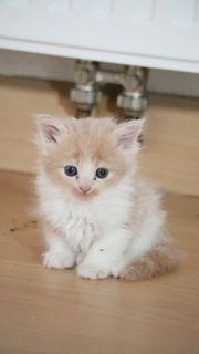Meine Coon Kitten
