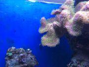 pilzleder Koralle grüne Polypen Ableger