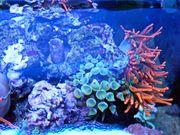 Blasenanemone grün Seewasser Meerwasser abzugeben
